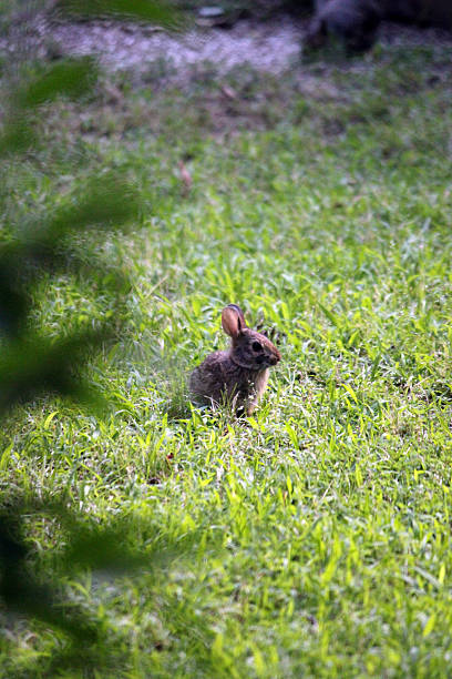 wild baby bunny in backyard - pam schodt stock photos and pictures