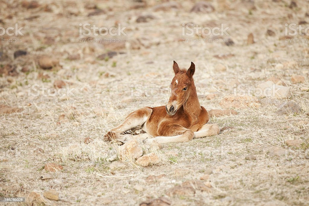 Wild Baby Horse In Nevada Desert Stock Photo Download Image Now Istock