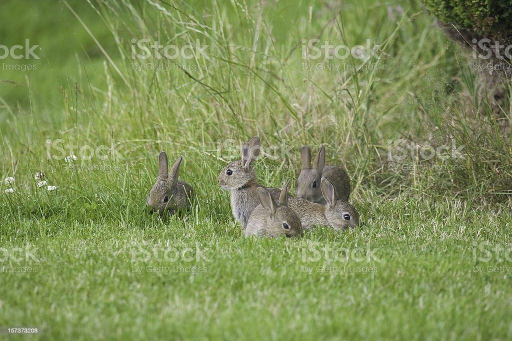 Wild Baby Rabbits royalty-free stock photo