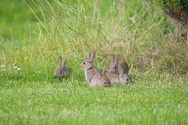 wild bambino conigli - fauna selvatica foto e immagini stock