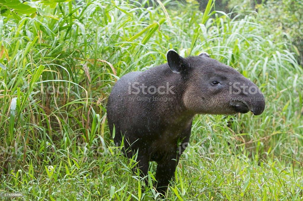 Wild Baird's Tapir in Rain stock photo