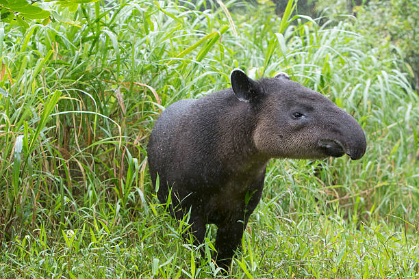 Wild Baird's Tapir in Rain stock photo