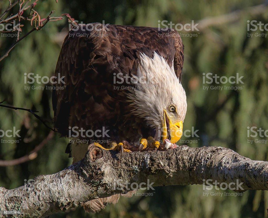 Wild Bald Eagle Feeding stock photo