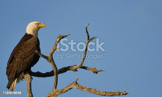 Wild Bald Eagle along the mangrove coast of the Atlantic Ocean at the Merritt Island National Wildlife Refuge on the Space Coast of Florida.
