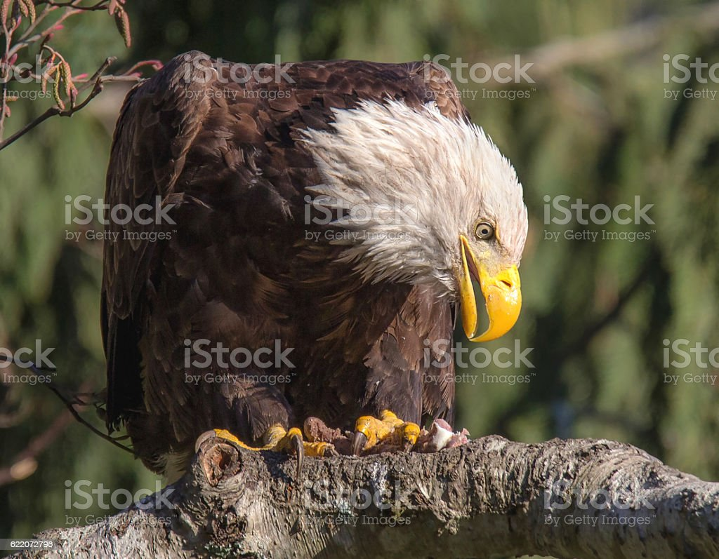 Wild Bald Eagle On A Branch stock photo
