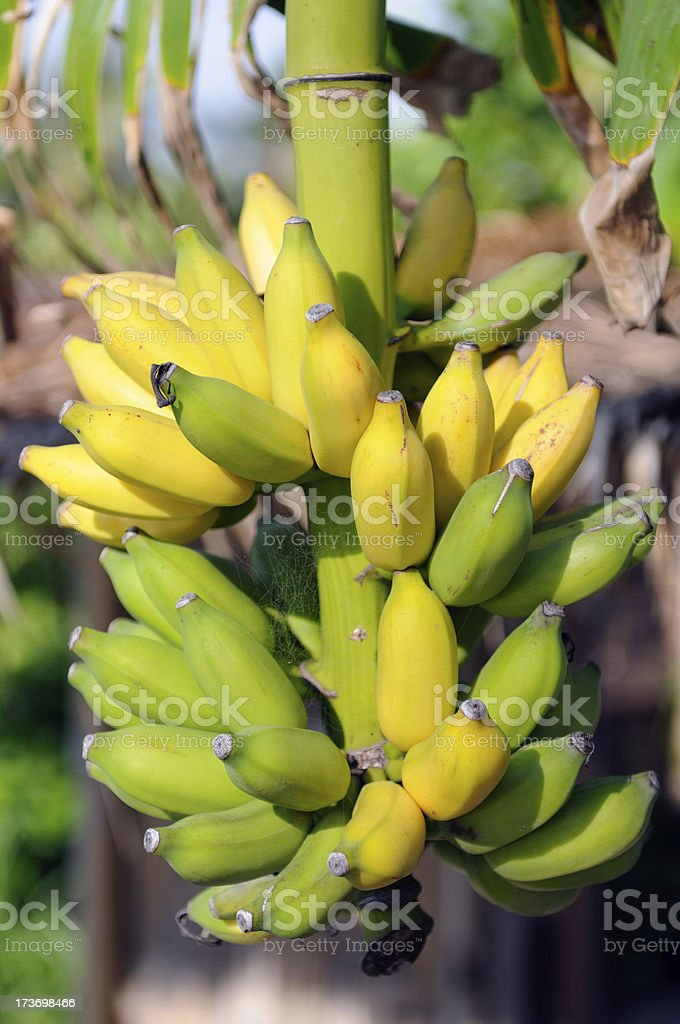 Wild Banana Tree stock photo