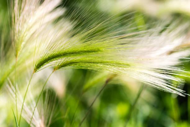 Wild barley seed head stock photo