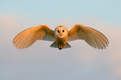 Wild barn owl hunting in its natural habitat of grassland and hay meadows in Yorkshire Dales, UK. This photograph was taken at sunset, while the barn owl was hunting for food such as short-tailed voles, mice, shrews, small rats and birds.