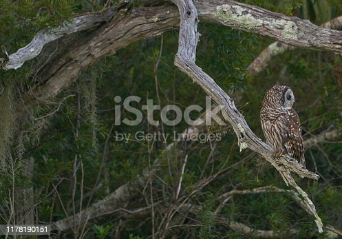 The beautiful barred owl hunting in the natural surroundings of Orlando Wetlands Park in central Florida.  The park is a large marsh area which is home to numerous birds, mammals, and reptiles.