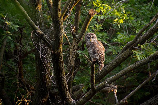 Wild barred owl watches intensely before sunrise picture id155598513?b=1&k=6&m=155598513&s=612x612&w=0&h=nmrhkjtsje4rtkd gql vhj 1cq3ljrjozzyymije1c=
