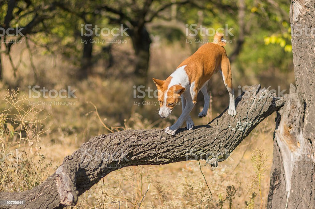 Wild Basenji dog goes down on a tree branch stock photo