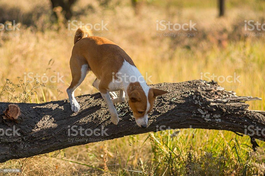 Wild Basenji dog jumping off a fallen tree stock photo