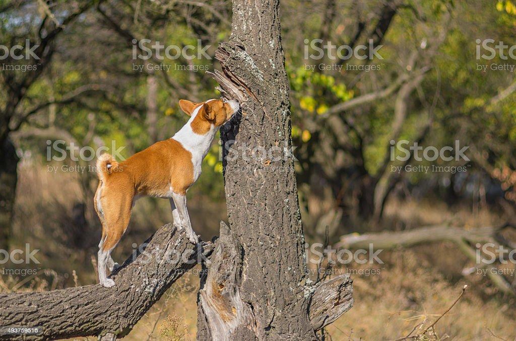 Wild Basenji dog sniffing around its territory stock photo