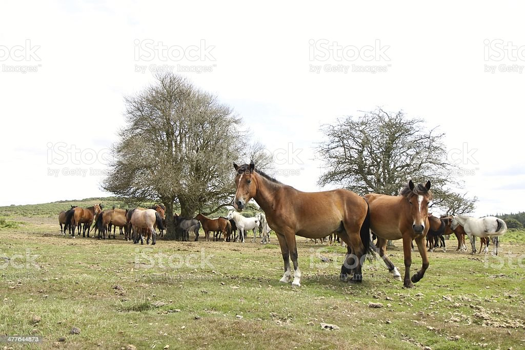 wild bay horse standing heath new forest national park stock photo