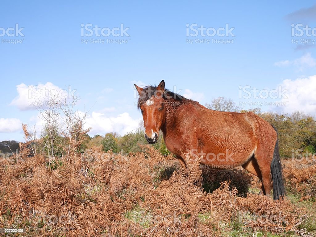 wild bay horse standing new forest national park autumn sun stock photo