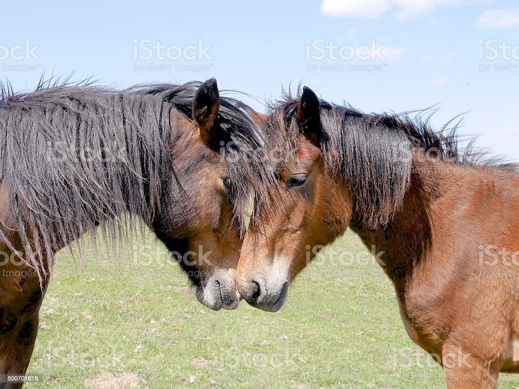 wild bay horses greeting each other with affection new forest stock photo