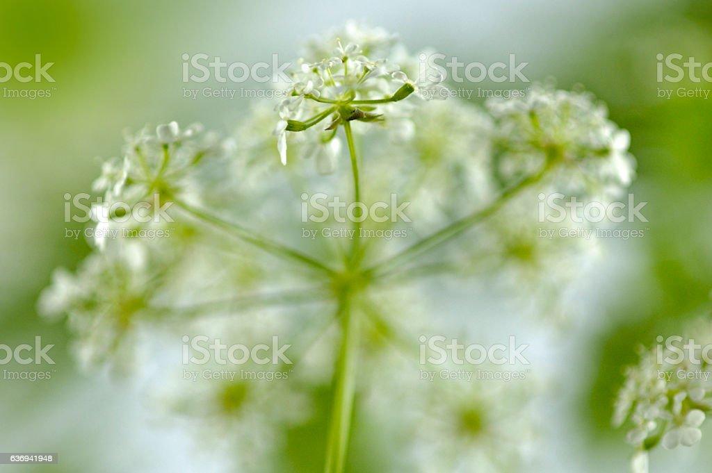 wild beaked parsley (Anthriscus sylvestris) stock photo