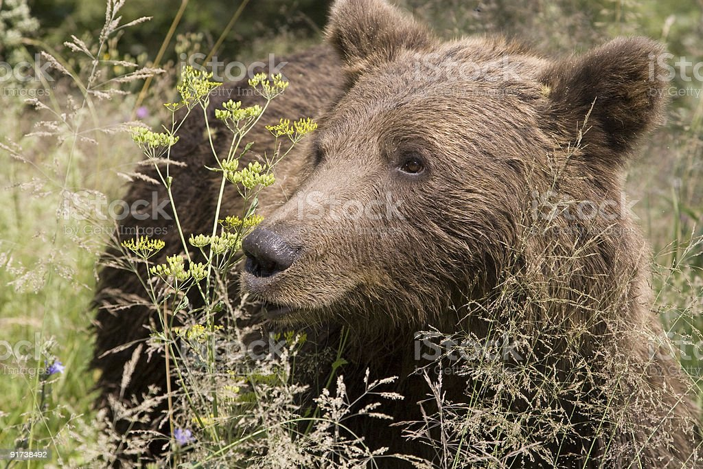 Wild Bear In The Forest royalty-free stock photo