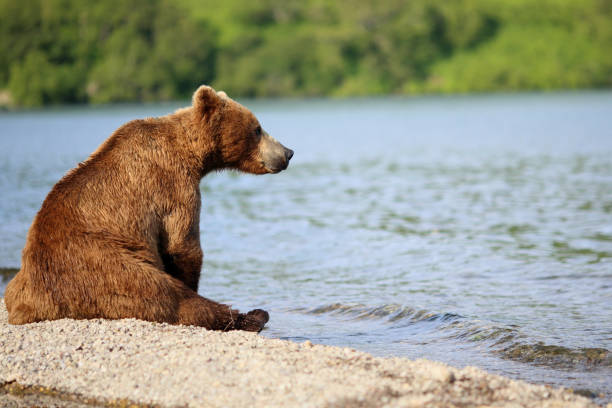 wild bear sits by the river one wild bear sits by the river and looks thoughtfully at the water kamchatka peninsula stock pictures, royalty-free photos & images