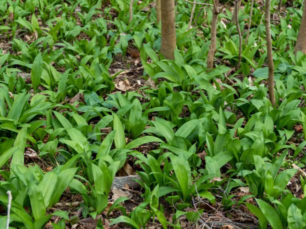 ursino de ursos selvagens (Allium ursinum) na floresta - foto de acervo