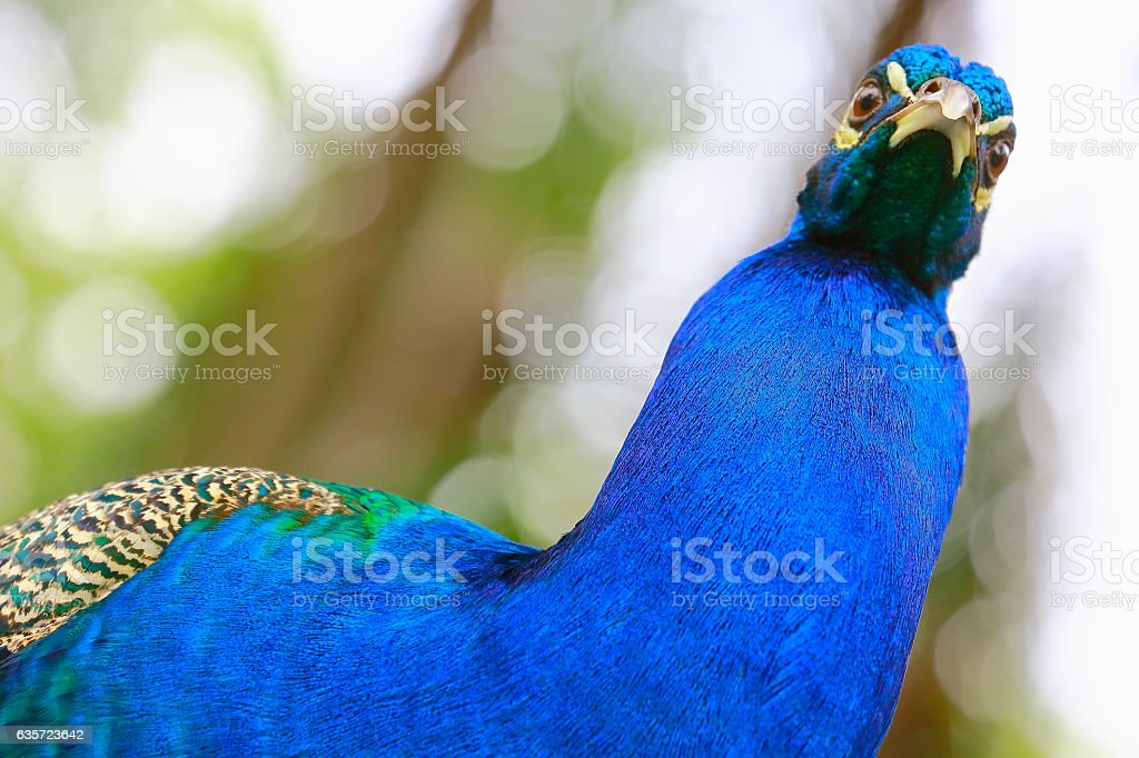 Wild beautiful asian indian blue Peacock looking face to face stock photo