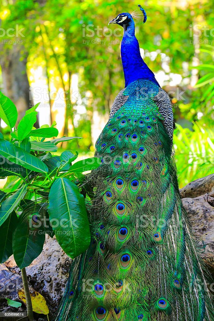 Wild beautiful asian indian Peacock, colorful Feathers, tropical paradise royalty-free stock photo