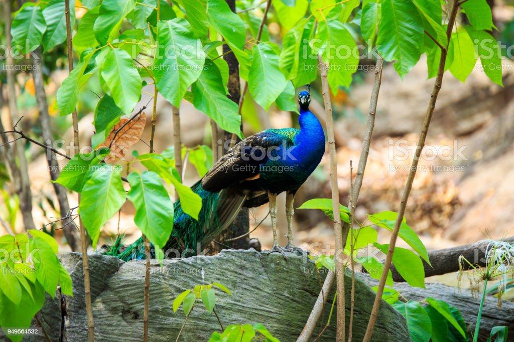 Fotografía de Salvaje Asiático Indio Pavo Real Plumas De Colores ...