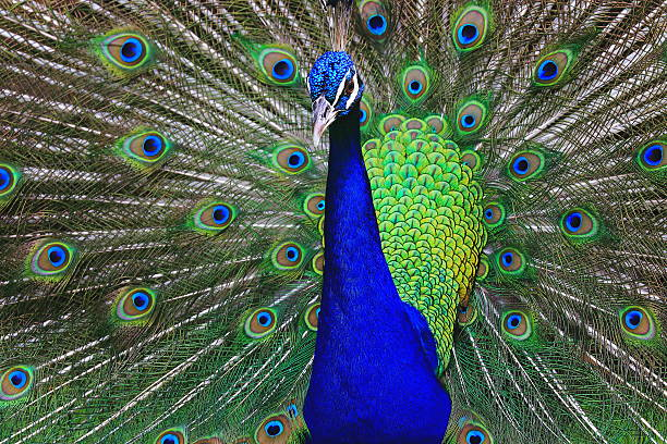 Wild beautiful asiatic indian Peacock, colorful Feathers showing fanned Out - Photo