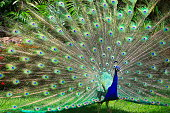 Wild beautiful asiatic indian Peacock, colorful Feathers showing fanned Out