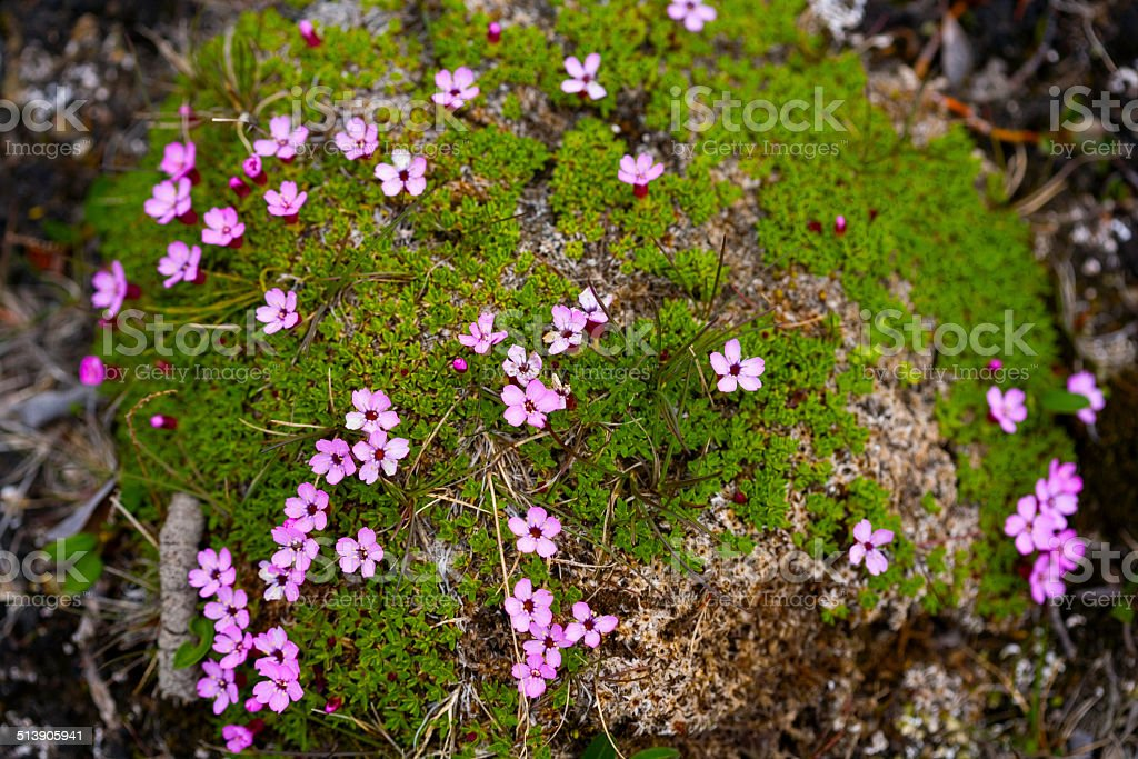 Wild beautiful flowers on a green moss floor in Greenland stock photo