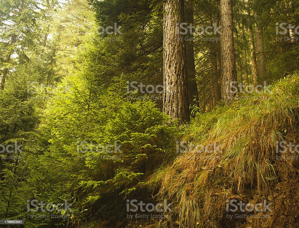 wild beautiful forest royalty-free stock photo