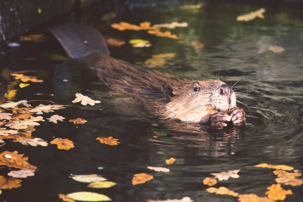 wild beaver in water stock photo