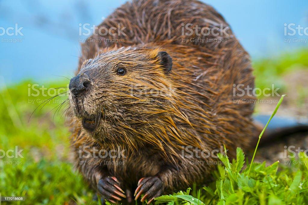 Wild Beaver – Foto