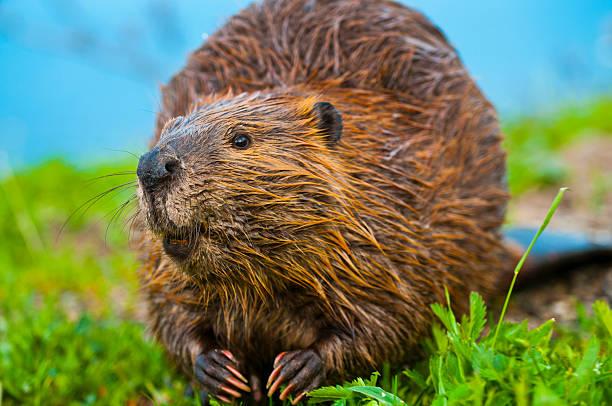 Wild Beaver - Photo