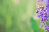 Wild bee on Lavender, soft focus
