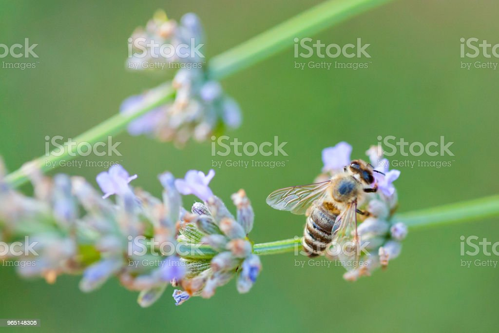 Wild bee on Lavender royalty-free stock photo