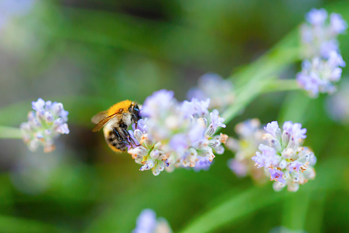 Wild Bee On Lavender Stock Photo - Download Image Now