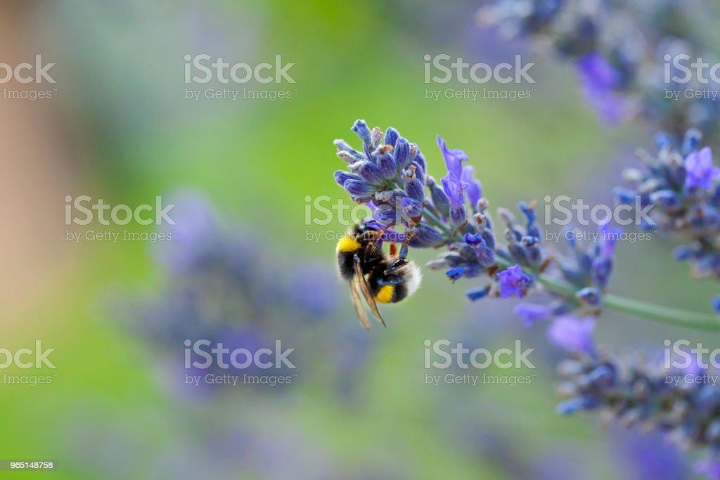 Wild bee on Lavender zbiór zdjęć royalty-free