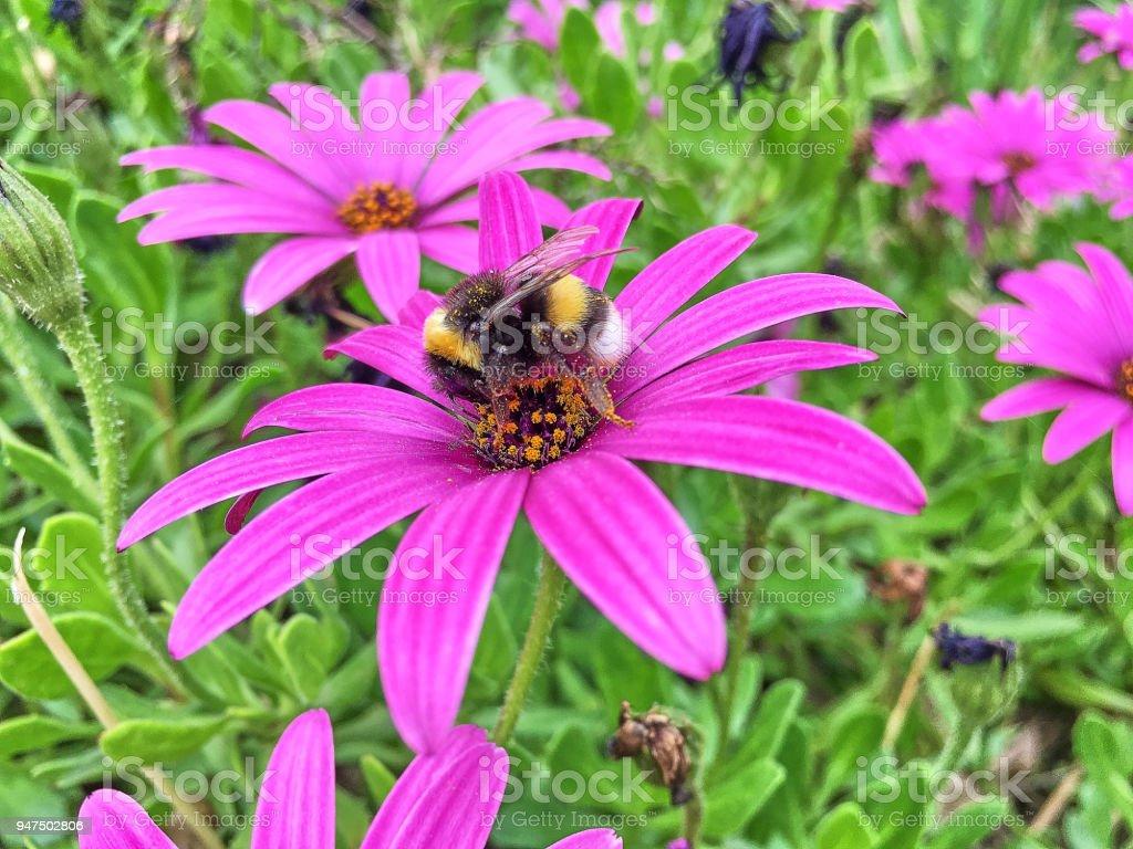Wild bee onto flower stock photo more pictures of animal body part wild bee onto flower royalty free stock photo izmirmasajfo