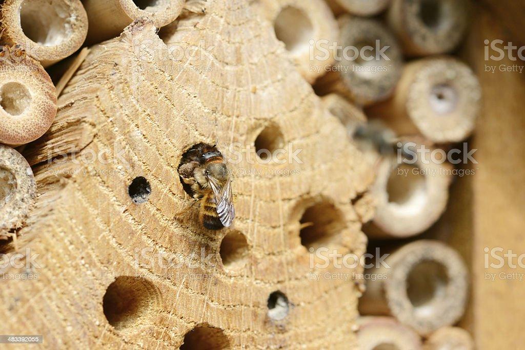 wild abeille Osmia bicornis - Photo