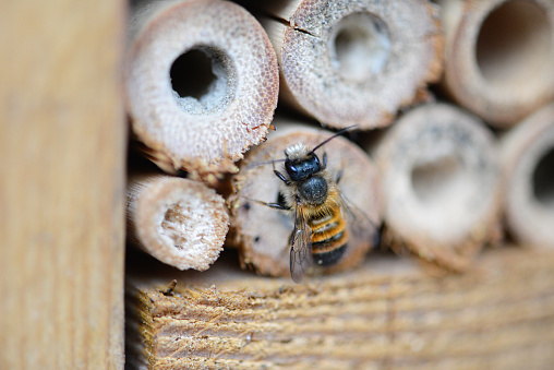 wild bee Osmia cornuta looking out of insect hotel. male.