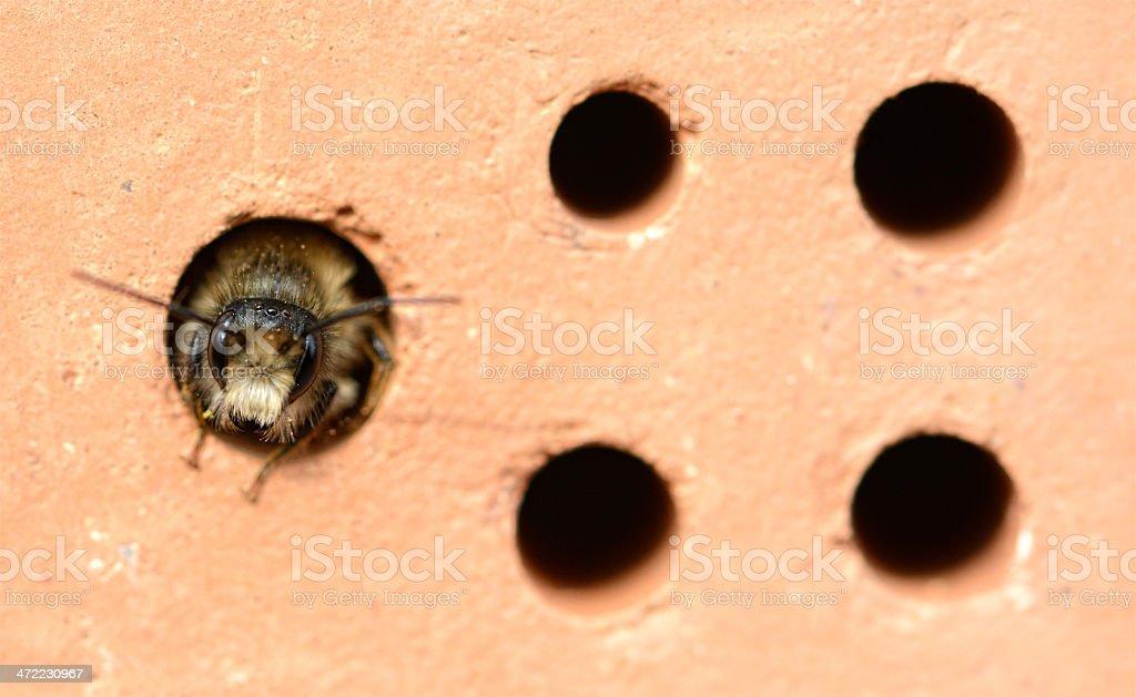 wild abeille Osmia cornuta - Photo
