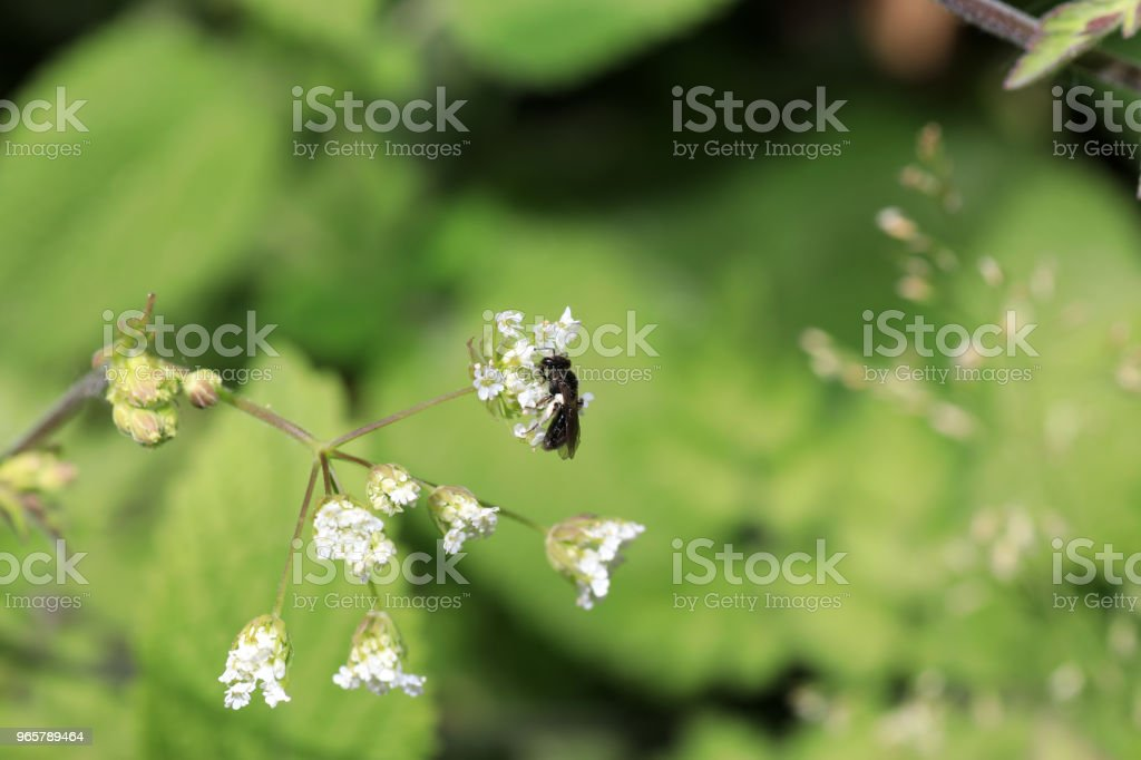 Wild bees are all bee species of the superfamily - Royalty-free Animal Stock Photo