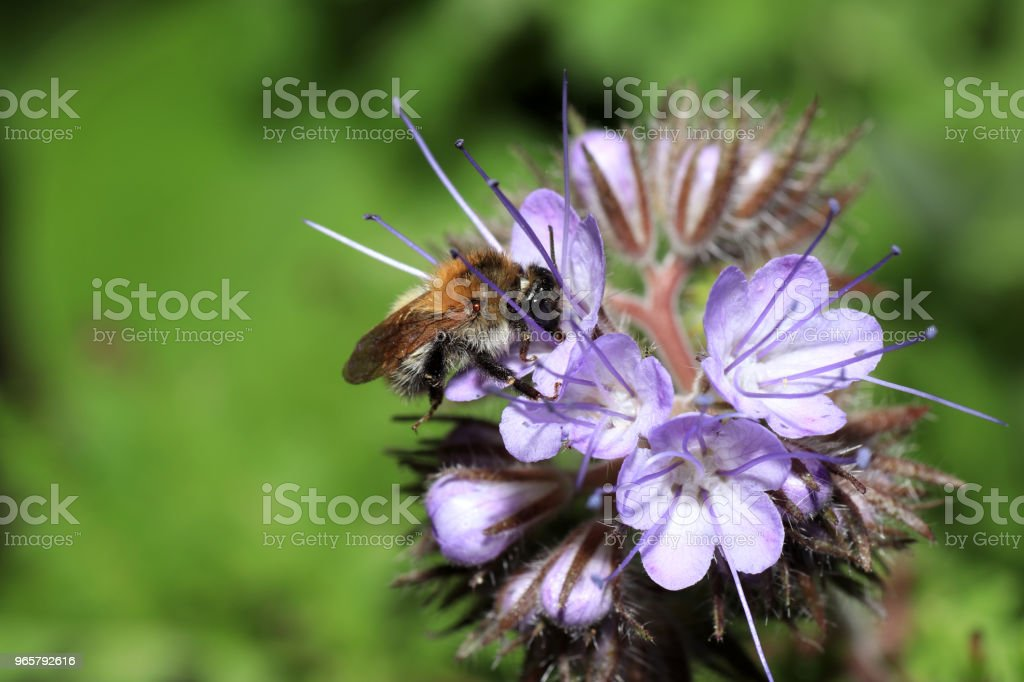 Wilde bijen zijn alle bee soorten uit de superfamilie - Royalty-free Bij Stockfoto