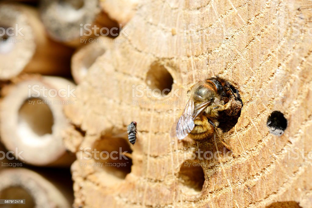wild bees. female solitary bee closing her nesthole - Photo