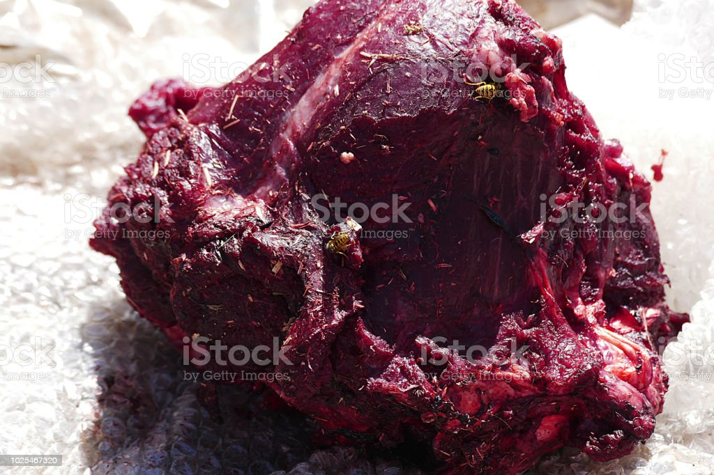 wild bees on animal meat, carnivorous bees stock photo