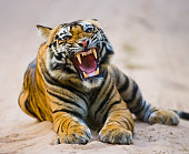 Wild Bengal Tiger lying on the road in the jungle. India. Bandhavgarh National Park. Madhya Pradesh. An excellent illustration.
