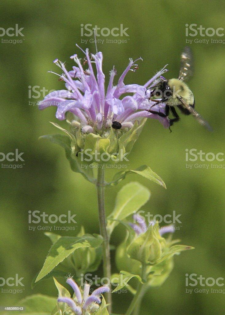 Wild Bergamot and Bumblebee Gathering Nectare stock photo