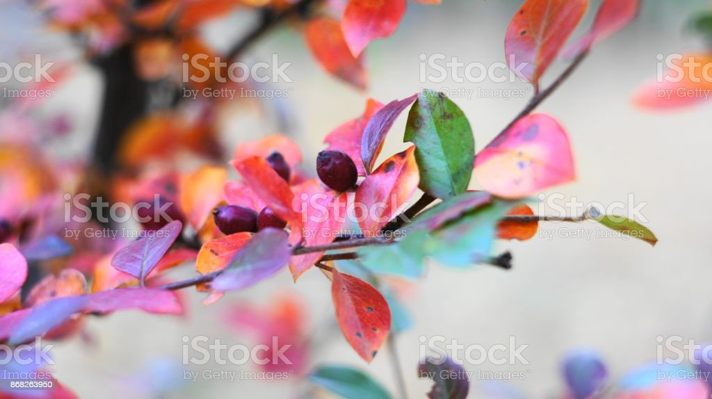 Wild berries on a bush. stock photo