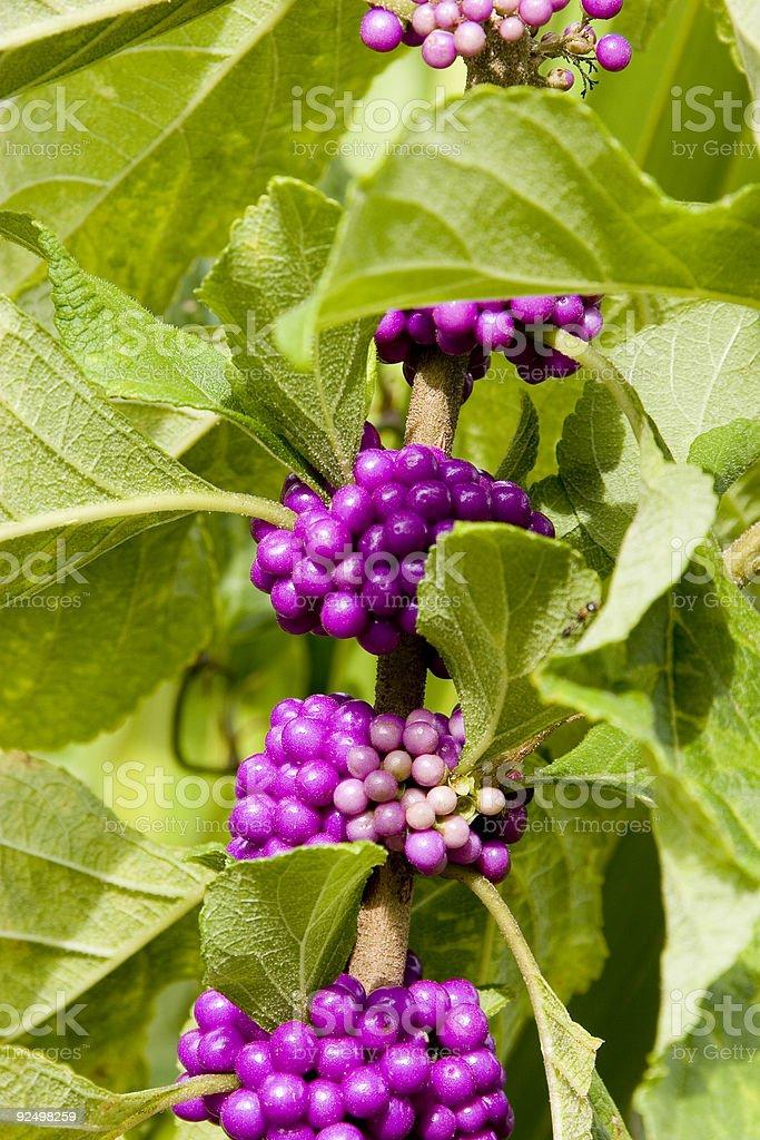 Wild Berry royalty-free stock photo